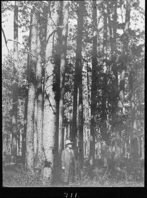 Primary view of object titled '[Longleaf Pine Timber, Houston County, Texas]'.