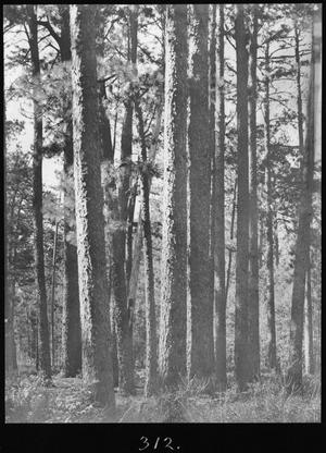 [Longleaf Pine Timber, Houston County, Texas - 2]