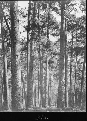 Primary view of object titled '[Longleaf Pine Timber, Houston County, Texas - 3]'.