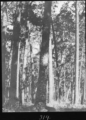 Primary view of object titled '[Longleaf Pine Timber, Houston County, Texas - 4]'.