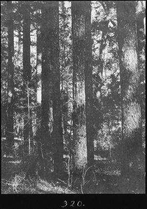 Primary view of object titled '[Shortleaf Pine Timber, Trinity County, Texas - 4]'.