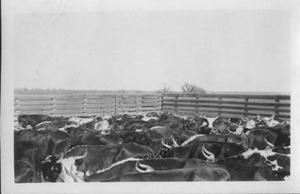 Primary view of object titled '[Cattle in a pen]'.
