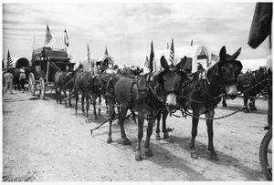 Texas Sesquicentennial Wagon Train on Its Way from Windthorst to Wichita Falls