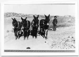 Primary view of object titled '[Mules for constructing railroad]'.