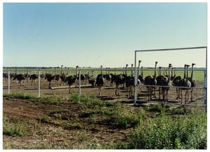 Primary view of object titled '[Ostrich farm]'.