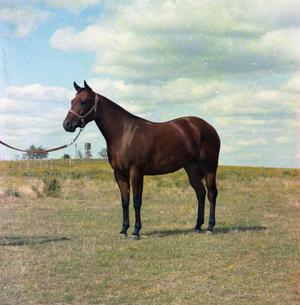 Primary view of object titled '[Bay Horse in a Field]'.