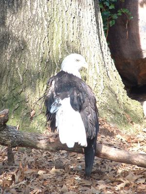 [Bald eagle on a branch]