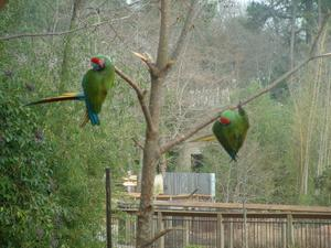 [Two green parrots]