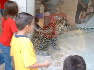 Primary view of object titled '[Children look at a jaguar behind a glass wall]'.