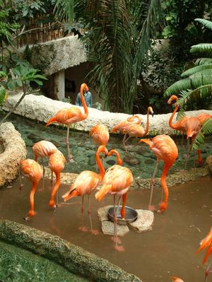 [Flock of flaminos, one with his head in a food dish]