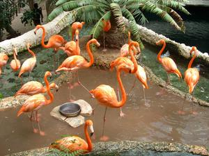 [Flock of flamingos in their pond, one in the foreground eyeing the photographer]