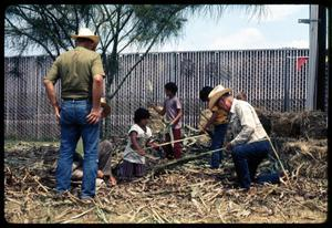 Primary view of object titled '[Stripping Leaves from Sugar Cane]'.