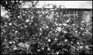 Primary view of object titled '[Photograph of Rose Bushes]'.