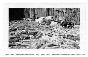 Primary view of object titled '[Photograph of Dog and Pigs]'.