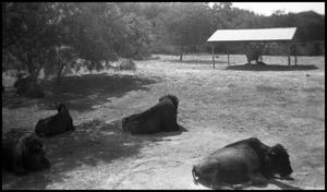 Primary view of object titled '[Photograph of Buffalo at the Zoo]'.