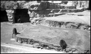 Primary view of object titled '[Photograph of a Primates at the Zoo]'.