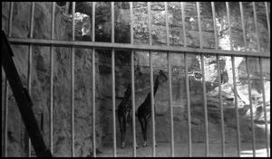 Primary view of object titled '[Photograph of Two Giraffes at the Zoo]'.