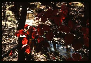 Primary view of object titled '[Dogwood Tree wearing Autumn Leaves]'.