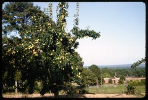 Primary view of object titled '[Photograph of Pear Trees in Anderson County]'.