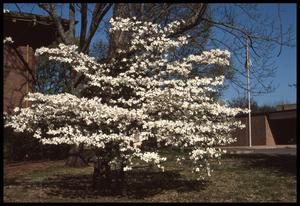Primary view of object titled '[Dogwood Trees in front of the Carnegie Building]'.
