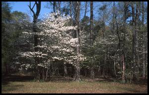 Primary view of object titled '[Dogwood Trails]'.