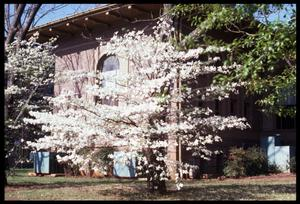 Primary view of object titled '[Photograph of Dogwood Tree in front of the Carnegie Building]'.
