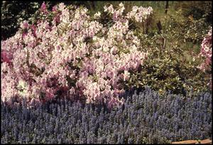 Primary view of object titled '[Bluebonnets and Azalias in Anderson County]'.