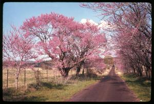 Primary view of object titled '[Redbud Tree in Anderson County]'.