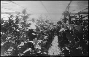 Primary view of object titled '[Tobacco Plants in a Growers Shed]'.