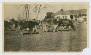 Primary view of object titled '[Cattle at Butler Ranch Headquarters]'.
