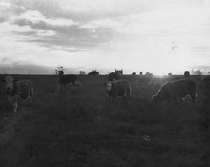 Primary view of object titled 'Cattle Grazing at Sunset Near Watauga'.