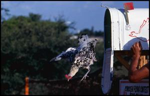 Primary view of object titled '[Black and White Chicken Flying Out of a Mailbox]'.