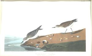 "Primary view of object titled '""Semipalmated Sandpiper""'."
