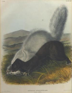 Primary view of object titled 'Texan Skunk'.