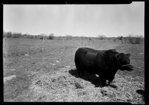Primary view of object titled '[Bull on Porter Ranch]'.