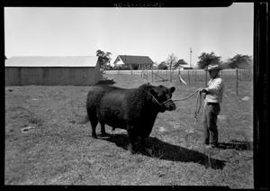 Primary view of object titled '[Bull with Ranch Hand]'.