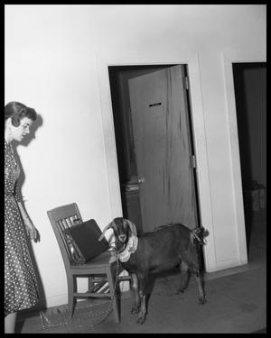 Primary view of object titled 'Bill Gaines & goat (in office setting)'.