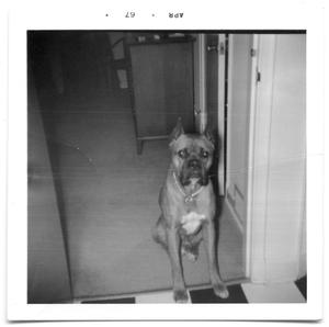 Primary view of object titled 'Boxer dog sitting in a hallway'.
