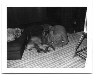 Primary view of object titled 'Two dogs sleeping on the floor and on a chair'.