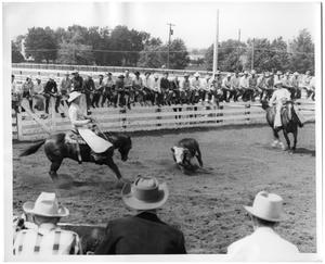 Primary view of object titled '[Photograph of Quarter Horse Paulyana Working a Calf]'.
