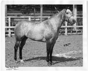 Primary view of object titled '[Quarter Horse named Paulesa]'.