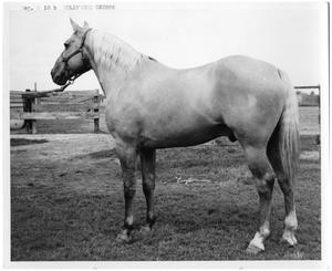 Primary view of object titled '[Quarter Horse named Hollywood George]'.