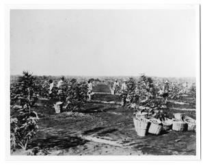 Primary view of object titled '[Orchard and fruit pickers]'.