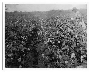 Primary view of object titled '[Cotton field and pickers]'.