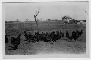 Primary view of object titled '[Chickens on an unidentified farm]'.