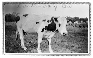 Primary view of object titled 'Burton's Dairy Cow'.