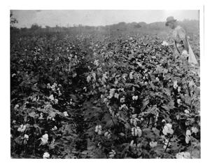Primary view of object titled 'Man Picking Cotton'.