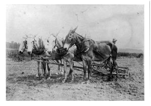 Primary view of object titled '[Team of Mules Pulling Cultivator at Kishi Farm]'.