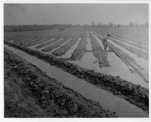 Primary view of object titled '[Laboring in the Rice Fields]'.