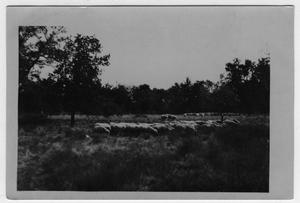 Primary view of object titled '[Grazing ewes on Golden Hoof Farm, located west of Denton]'.